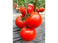 鄂尔多斯大红西红柿苗 齐达利西红柿苗